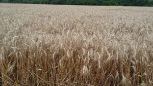 Cover photo for Northeast NC Wheat Variety Trial Results